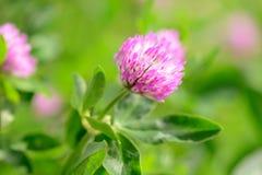 Λουλούδια τριφυλλιού στον τομέα Στοκ εικόνες με δικαίωμα ελεύθερης χρήσης