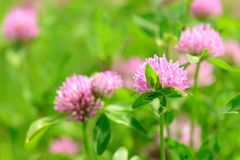 Λουλούδια τριφυλλιού στον τομέα Στοκ Εικόνες
