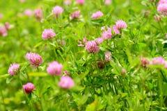 Λουλούδια τριφυλλιού στον τομέα Στοκ εικόνα με δικαίωμα ελεύθερης χρήσης