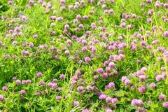 Λουλούδια τριφυλλιού στον τομέα Στοκ Φωτογραφία