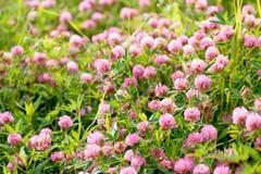 Λουλούδια τριφυλλιού στον τομέα Στοκ φωτογραφία με δικαίωμα ελεύθερης χρήσης