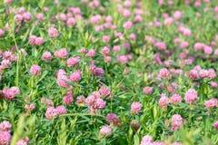 Λουλούδια τριφυλλιού στον τομέα Στοκ Φωτογραφίες
