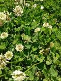 Λουλούδια τριφυλλιού Στοκ φωτογραφία με δικαίωμα ελεύθερης χρήσης