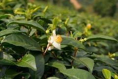 Λουλούδια τσαγιού και φρέσκα φύλλα Στοκ Εικόνες