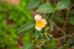 Λουλούδια τσαγιού και φρέσκα φύλλα Στοκ Φωτογραφία
