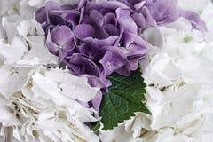 Λουλούδια των άσπρων και πορφυρών hydrangeas και ένα πράσινο φύλλο μεταξύ τους Στοκ Φωτογραφία