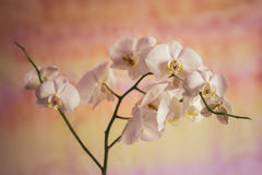 Λουλούδια των άσπρων ορχιδεών σε ένα κίτρινο υπόβαθρο Στοκ Εικόνες