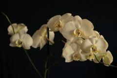 Λουλούδια των άσπρων ορχιδεών σε ένα μαύρο υπόβαθρο Στοκ φωτογραφίες με δικαίωμα ελεύθερης χρήσης