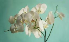 Λουλούδια των άσπρων ορχιδεών σε ένα τυρκουάζ υπόβαθρο Στοκ Φωτογραφίες