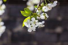 Λουλούδια των ανθών κερασιών σε μια κινηματογράφηση σε πρώτο πλάνο ημέρας άνοιξη στοκ φωτογραφίες