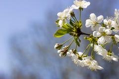 Λουλούδια των ανθών κερασιών σε μια κινηματογράφηση σε πρώτο πλάνο ημέρας άνοιξη στοκ εικόνες με δικαίωμα ελεύθερης χρήσης