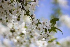 Λουλούδια των ανθών κερασιών σε μια κινηματογράφηση σε πρώτο πλάνο ημέρας άνοιξη στοκ εικόνες