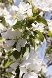 Λουλούδια των ανθών κερασιών σε μια κινηματογράφηση σε πρώτο πλάνο ημέρας άνοιξη στοκ εικόνα