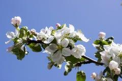 Λουλούδια των ανθών μήλων σε μια κινηματογράφηση σε πρώτο πλάνο ημέρας άνοιξη στοκ εικόνες