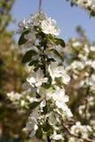 Λουλούδια των ανθών μήλων σε μια κινηματογράφηση σε πρώτο πλάνο ημέρας άνοιξη στοκ φωτογραφία με δικαίωμα ελεύθερης χρήσης