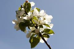Λουλούδια των ανθών μήλων σε μια κινηματογράφηση σε πρώτο πλάνο ημέρας άνοιξη στοκ φωτογραφίες