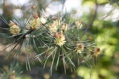 Λουλούδια των ανθών πεύκων σε μια κινηματογράφηση σε πρώτο πλάνο ημέρας άνοιξη στοκ φωτογραφίες