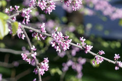Λουλούδια των ανθών sakura σε μια κινηματογράφηση σε πρώτο πλάνο ημέρας άνοιξη στοκ εικόνες με δικαίωμα ελεύθερης χρήσης