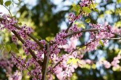 Λουλούδια των ανθών sakura σε μια κινηματογράφηση σε πρώτο πλάνο ημέρας άνοιξη στοκ εικόνα με δικαίωμα ελεύθερης χρήσης