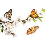 Λουλούδια των πεταλούδων κερασιών και μοναρχών Στοκ φωτογραφία με δικαίωμα ελεύθερης χρήσης