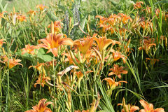 Λουλούδια των πορτοκαλιών κρίνων Κρίνοι μεταξύ της χλόης Στοκ φωτογραφίες με δικαίωμα ελεύθερης χρήσης