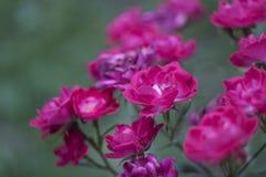 Λουλούδια των ροδανιλίνης τριαντάφυλλων Στοκ Φωτογραφίες