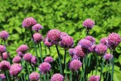 Λουλούδια των φρέσκων κρεμμυδιών Στοκ εικόνα με δικαίωμα ελεύθερης χρήσης