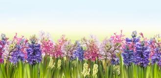 Λουλούδια υάκινθων ενάντια στο έμβλημα μπλε ουρανού Στοκ Φωτογραφίες