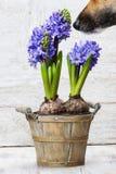 Λουλούδια υάκινθων ρουθουνίσματος σκυλιών στο ξύλινο δοχείο Στοκ Εικόνες