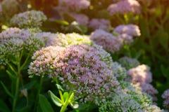Λουλούδια φθινοπώρου στην άνθιση sedum προεξέχον Στοκ φωτογραφίες με δικαίωμα ελεύθερης χρήσης