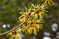 Λουλούδια φουντουκιών μαγισσών στοκ φωτογραφία