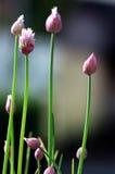 Λουλούδια φρέσκων κρεμμυδιών Στοκ εικόνα με δικαίωμα ελεύθερης χρήσης
