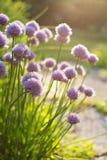 Λουλούδια φρέσκων κρεμμυδιών Στοκ Εικόνα