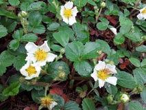 Λουλούδια φραουλών στοκ εικόνα με δικαίωμα ελεύθερης χρήσης
