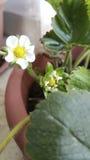 Λουλούδια φραουλών Στοκ Φωτογραφία