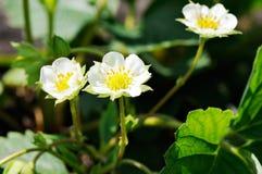 Λουλούδια φραουλών Στοκ Εικόνα