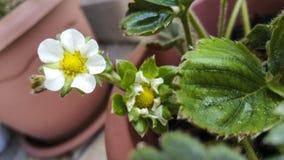 Λουλούδια φραουλών Στοκ φωτογραφίες με δικαίωμα ελεύθερης χρήσης