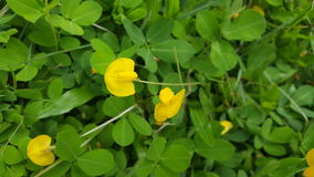 Λουλούδια φυστικιών Pintoi Στοκ φωτογραφίες με δικαίωμα ελεύθερης χρήσης