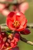 Λουλούδια φωτογραφιών κινηματογραφήσεων σε πρώτο πλάνο chaenomeles στοκ φωτογραφία με δικαίωμα ελεύθερης χρήσης