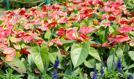 Λουλούδια φλαμίγκο (λουλούδι αγοριών) στον κήπο Στοκ Εικόνα