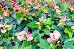 Λουλούδια φλαμίγκο Στοκ Εικόνες