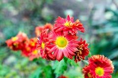 Λουλούδια, χρυσάνθεμο λουλουδιών, ταπετσαρία χρυσάνθεμων, χρυσάνθεμα το φθινόπωρο, ετήσιες εκδόσεις χρυσάνθεμων, εικόνες χρυσάνθε Στοκ εικόνα με δικαίωμα ελεύθερης χρήσης