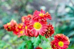 Λουλούδια, χρυσάνθεμο λουλουδιών, ταπετσαρία χρυσάνθεμων, χρυσάνθεμα το φθινόπωρο, ετήσιες εκδόσεις χρυσάνθεμων, εικόνες χρυσάνθε Στοκ φωτογραφίες με δικαίωμα ελεύθερης χρήσης