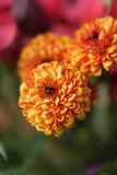 Λουλούδια χρυσάνθεμων πτώσης Στοκ εικόνα με δικαίωμα ελεύθερης χρήσης