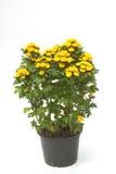 Λουλούδια χρυσάνθεμων στο δοχείο λουλουδιών στοκ φωτογραφίες με δικαίωμα ελεύθερης χρήσης
