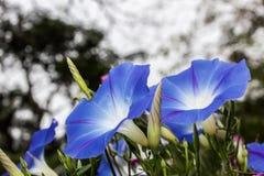 Λουλούδια δόξας πρωινού στοκ φωτογραφίες
