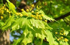 Λουλούδια Acer σφενδάμνου Στοκ Εικόνες