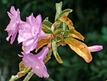 Λουλούδια Adenium Στοκ εικόνα με δικαίωμα ελεύθερης χρήσης