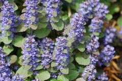 Λουλούδια Ajuga στην άνθιση Στοκ Φωτογραφία