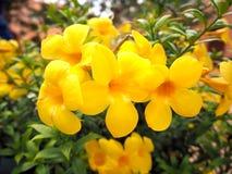 Λουλούδια Allamanda, κίτρινο χρώμα Στοκ Εικόνα